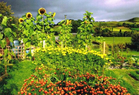 Sunflowers in allotment
